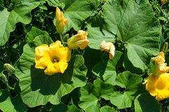 Les fleurs jaunes sont les courgettes vertes dans le frais images stock