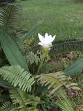 Les fleurs Krachiew blanc sont belles Photo stock