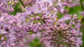 Les fleurs lilas se ferment vers le haut Bourgeons non entièrement déployés Banni?re horizontale image stock