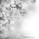 Les fleurs mûrissent le coton Images stock