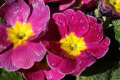 Les fleurs mises en pot pourpres avec la rosée photos libres de droits