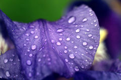 Les fleurs mouillent, des baisses de l'eau, fraîcheur de pétales Photo stock