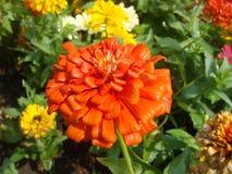 Les fleurs ont une couleur commune pour une fuite Images stock