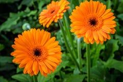 Les fleurs oranges du Gerbera plante l'élevage en serre chaude Photographie stock libre de droits