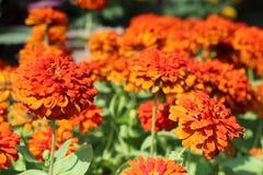 Les fleurs oranges fleurissent image libre de droits
