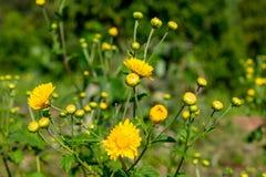 Les fleurs ou le chrysanthème jaunes gaden dedans photographie stock