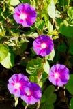 Les fleurs ouvertes du liseron pourpre contribuent comme fond photographie stock