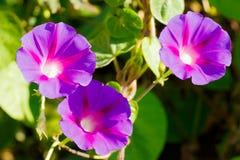 Les fleurs ouvertes du liseron pourpre contribuent comme fond image libre de droits