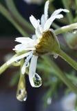 Les fleurs pleurent aussi Photographie stock libre de droits