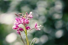 Les fleurs pourpres d'épilobe se ferment sur un fond de tache floue photographie stock