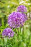 Les fleurs pourpres d'ampoules d'allium se ferment sur le fond vert Photographie stock