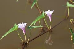 Les fleurs pourpres et blanches de gloire de matin sont en même fleur Image libre de droits