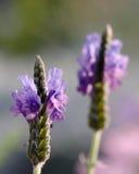 Les fleurs pourpres lumineuses se développent à garde Photographie stock