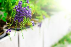 Les fleurs pourpres sont duvet léger photos stock