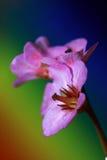 les fleurs proches de cordifolia de bergenia le coeur que vert laisse le magenta restent formées tout au long de l'an haut Photo stock