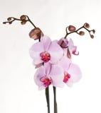 les fleurs proches ont isolé l'orchidée vers le haut Images libres de droits