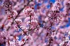 Les fleurs roses colorent l'arbre au printemps photographie stock libre de droits