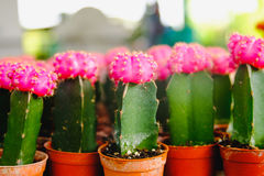 Les fleurs roses de cactus dans des pots au cactus font des emplettes sur le marché de fleurs Photo libre de droits