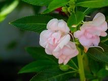 Les fleurs roses de floraison de milli d'euphorbe Image stock