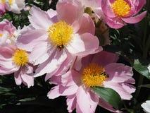 Les fleurs roses de floraison de pivoine avec gaffent des abeilles Image libre de droits