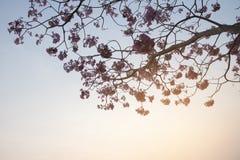 Les fleurs roses de l'arbre l'hiver assaisonnent en Thaïlande Images stock