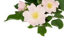 Les fleurs roses de sauvage se sont levées Photographie stock