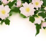 Les fleurs roses de sauvage se sont levées Image stock
