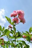 Les fleurs roses de se sont levées contre le ciel bleu-clair Image libre de droits