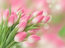 Les fleurs roses de tulipe ont brouillé des fleurs de ressort de fond images libres de droits