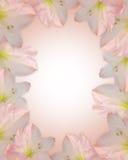 Les fleurs roses encadrent l'amaryllis Image stock
