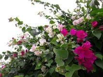 Les fleurs roses et blanches de bouganvillée sont belles Photo stock