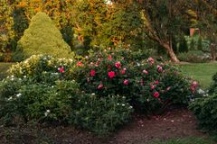Les fleurs roses et blanches de buissons se développent dans le jardin Jardin botanique Images libres de droits