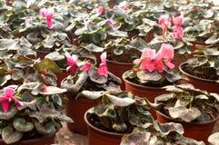 Les fleurs roses fleurissent en février, prêt pour le jour du ` s de femmes du 8 mars en serre chaude ensoleillée Images libres de droits