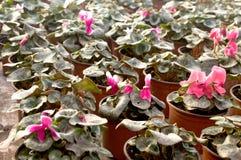 Les fleurs roses fleurissent en février, prêt pour le jour du ` s de femmes du 8 mars en serre chaude ensoleillée Photos libres de droits