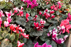 Les fleurs roses fleurissent en février, prêt pour le jour du ` s de femmes du 8 mars en serre chaude ensoleillée Photographie stock libre de droits