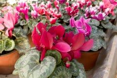Les fleurs roses fleurissent en février, prêt pour le jour du ` s de femmes du 8 mars en serre chaude ensoleillée Image libre de droits