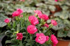 Les fleurs roses fleurissent en février, prêt pour le jour du ` s de femmes du 8 mars en serre chaude ensoleillée Image stock