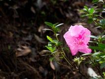 Les fleurs roses fleurissent près des feuilles vertes Le fond est une feuille sèche, brun photos stock
