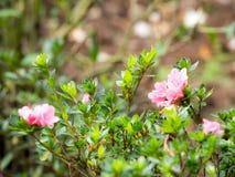 Les fleurs roses fleurissent près des feuilles vertes Le fond est une feuille sèche, brun photographie stock