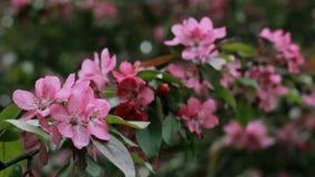 Les fleurs roses fleurit sur les branches du cerisier banque de vidéos