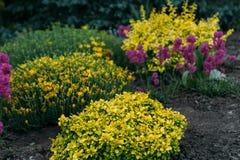 Les fleurs roses, pourpres et jaunes se développent dans le jardin Jardin botanique Photos stock