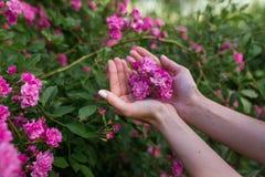 Les fleurs roses sont dans la paume d'une main de girl's dans le jardin Images stock