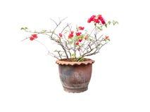 Les fleurs roses sont dans le pot Photo libre de droits