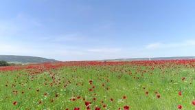 Les fleurs rouges dans le blé ont introduit la journée de printemps ensoleillée projectile Vue supérieure du champ de pavot un jo clips vidéos