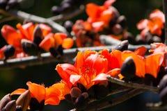 Les fleurs rouges de ceiba de treeBombax de coton de fleur de coton en soie sous la fin de lumière du soleil  Images libres de droits