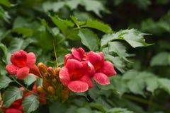 Les fleurs rouges de floraison d'un campsis sur un fond vert en été font du jardinage Photos libres de droits