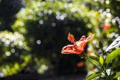 Les fleurs rouges de ketmie fleurissent Image stock