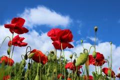 Les fleurs rouges de pavots se ferment sur le ciel bleu photographie stock libre de droits