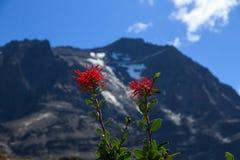 Les fleurs rouges lumineuses du feu chilien baguent le coccineum d'Embothrium en parc national de Torres del Paine images libres de droits