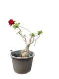 Les fleurs rouges sont dans le pot Image stock
